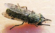 gestoken door een steekvlieg