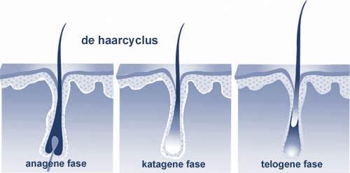 haaruitval-                               haarcyclus