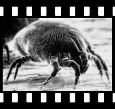 huisstofmijt onder de microscoop
