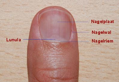 nagel anatomie