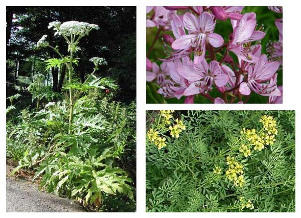 Allergie Planten Huid : Huidklachten door planten huidinfo informatiefolder van de